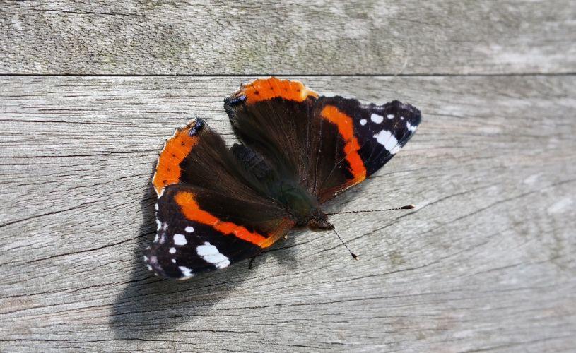Maandoverzicht vlinder